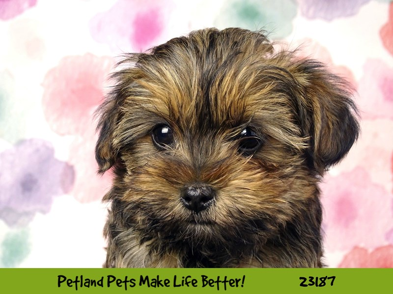 Shorkie-Female-Brown-2695058-Petland Naperville