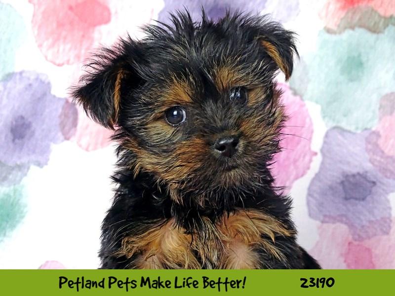 Yorkshire Terrier-Male-Black-2695184-Petland Naperville