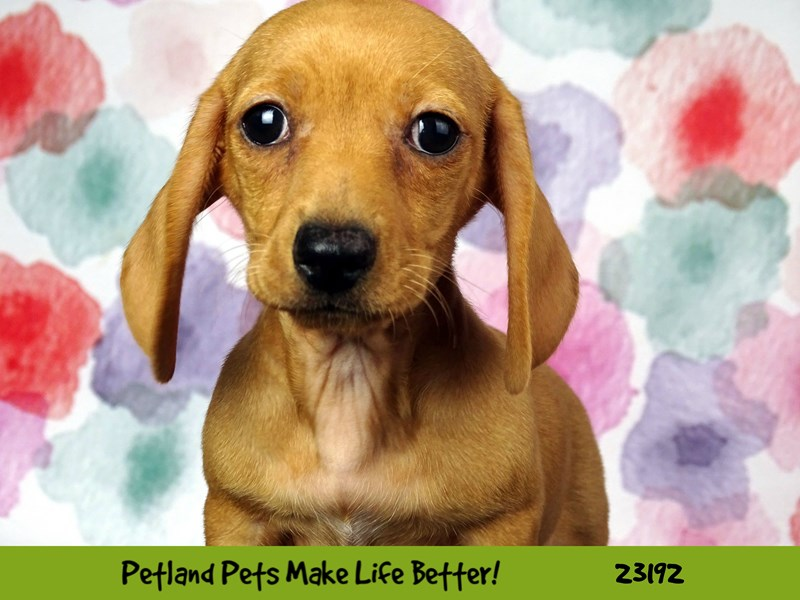 Dachshund-DOG-Male-Red-2695251-Petland Naperville