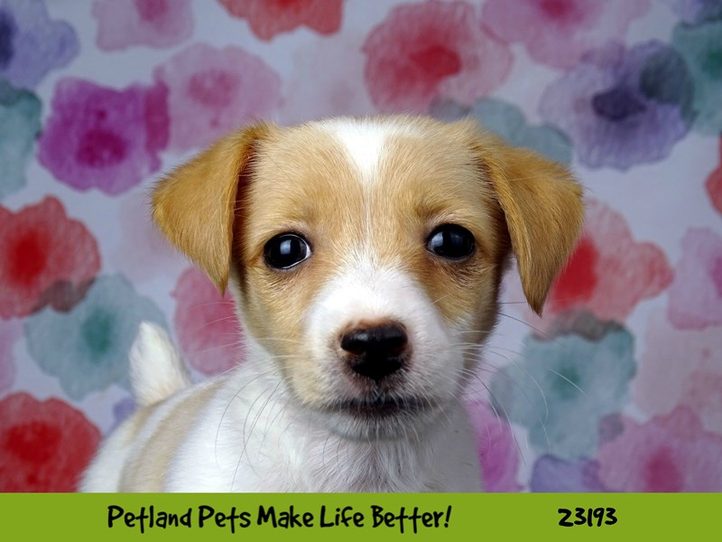 Jack Russell Terrier-DOG-Female-White / Lemon-2695122-Petland Naperville