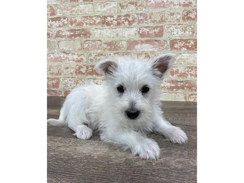 West Highland White Terrier-DOG-Female-White-2696937-Petland Naperville