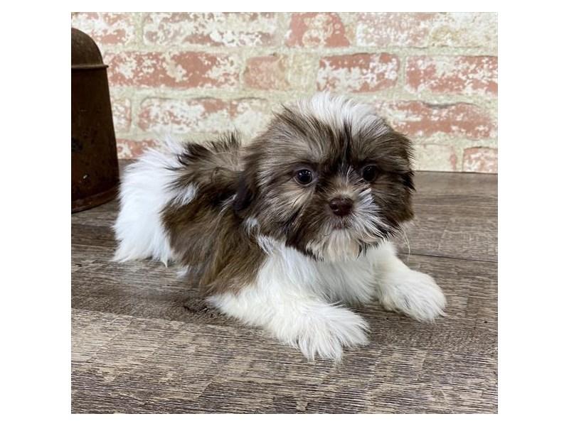 Shih Tzu-DOG-Female-Gold / White-2696938-Petland Aurora