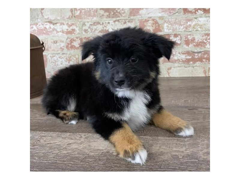 Miniature Australian Shepherd-DOG-Male-Black-2696940-Petland Naperville