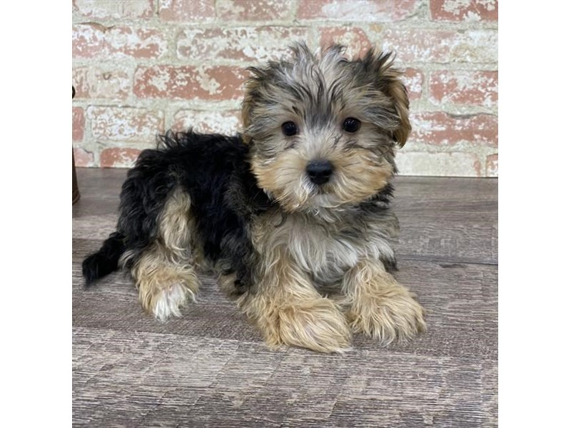 Morkie-DOG-Male-Black / Tan-2696941-Petland Aurora