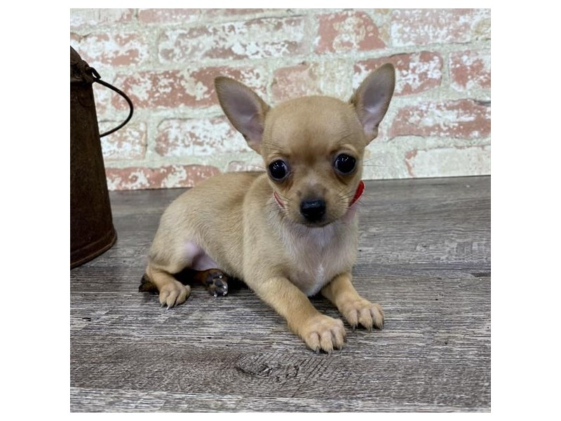 Chihuahua-Female-Fawn-2696942-Petland Naperville