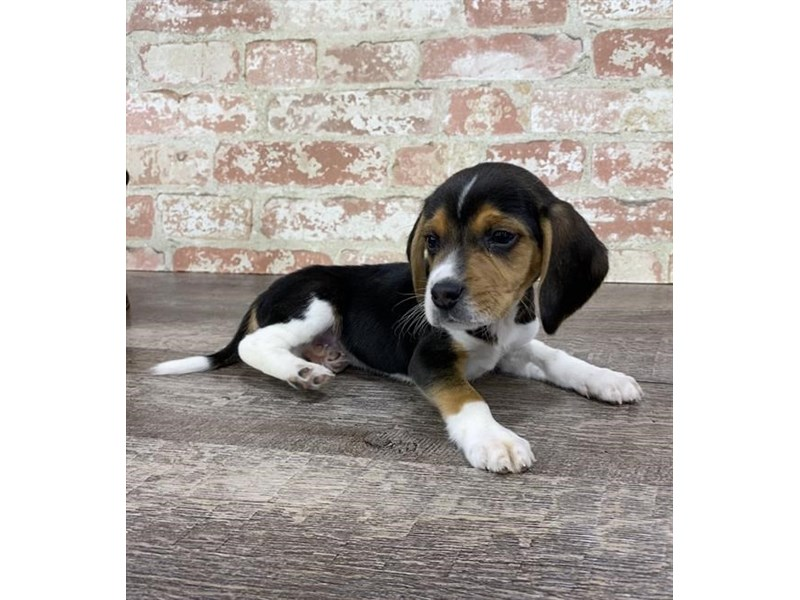 Beagle-DOG-Male-Black White / Tan-2696943-Petland Naperville