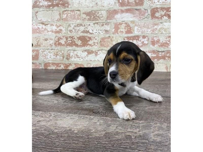 Beagle-Male-Black White / Tan-2696943-Petland Naperville