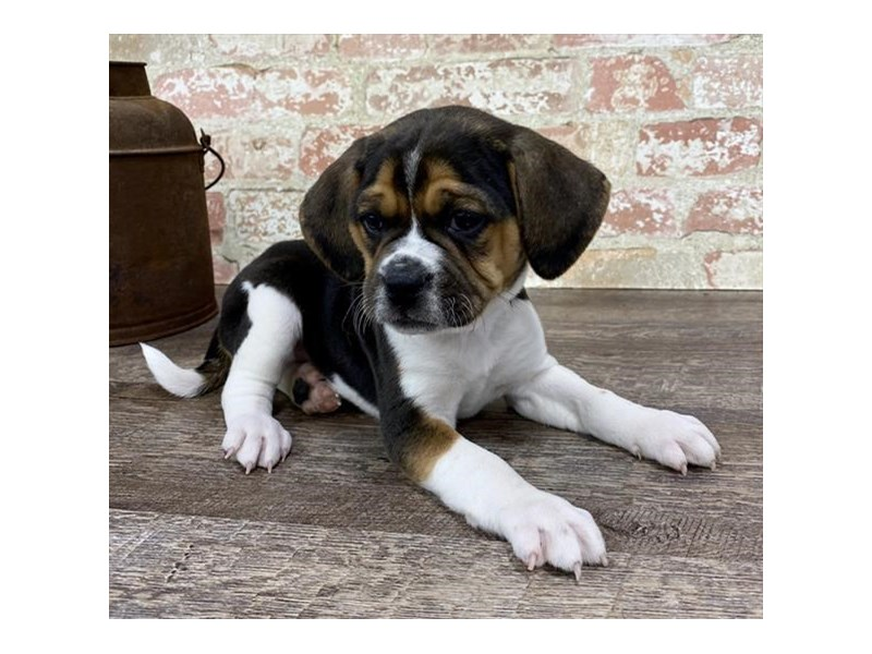 Puggle-Male-Black White / Tan-2696944-Petland Naperville