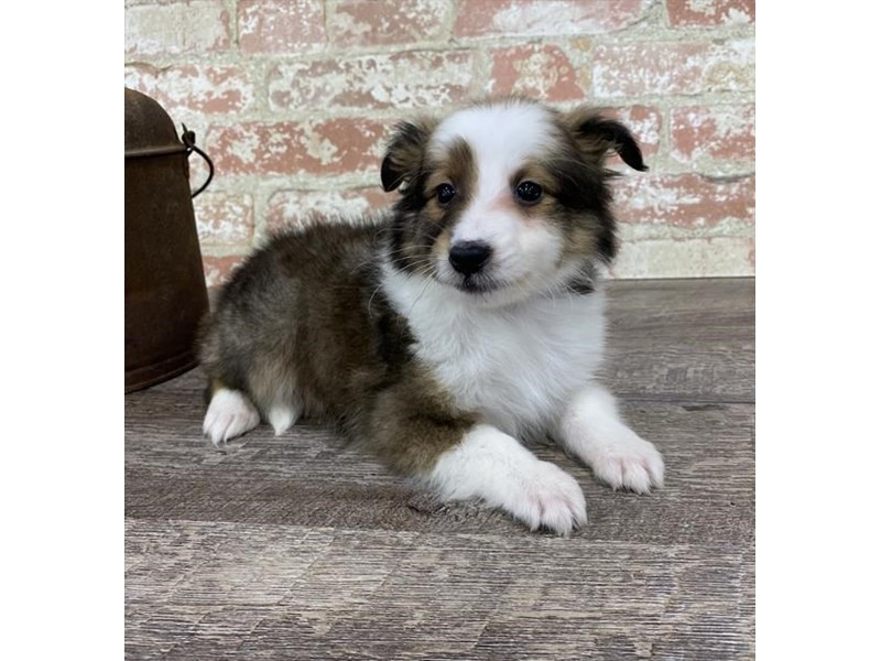 Shetland Sheepdog-DOG-Female-Sable / White-2696945-Petland Aurora