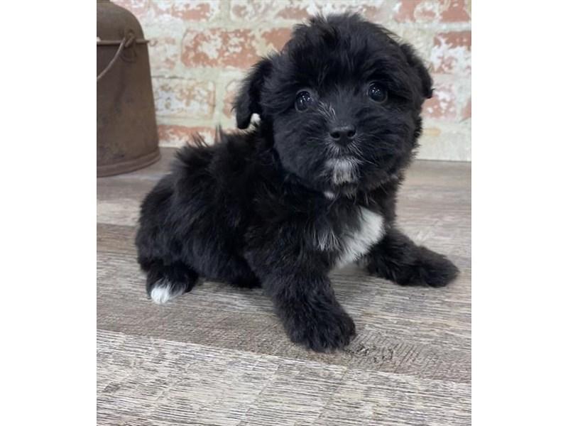 Yorkiepoo-DOG-Female-Black-2696946-Petland Naperville