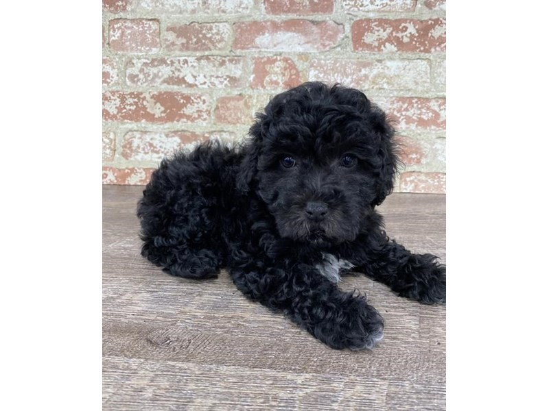 Poodle/Cocker Spaniel-DOG-Female-Black-2696954-Petland Naperville