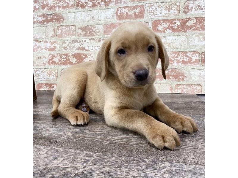 Labrador Retriever-DOG-Female-Red-2696957-Petland Naperville