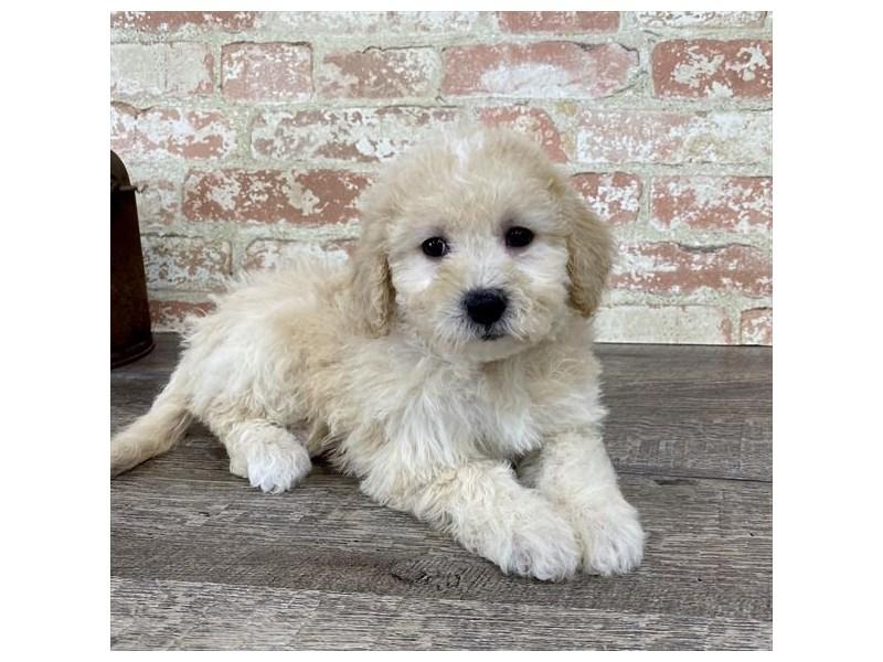 Bichapoo-DOG-Female-Cream-2696960-Petland Naperville