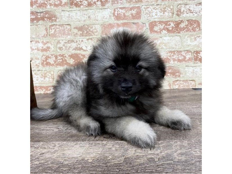 Keeshond-DOG-Female-Black / Silver-2696963-Petland Aurora