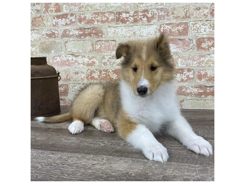 Collie-Female-Sable / White-2696964-Petland Naperville