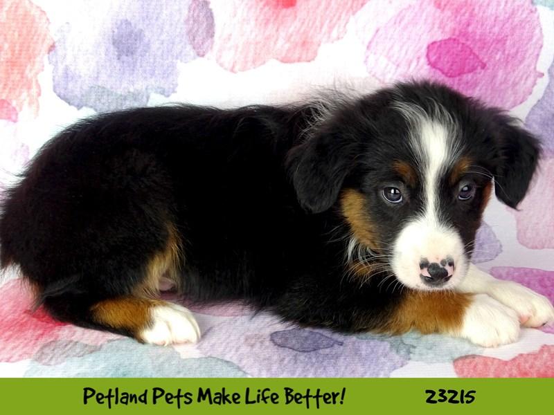 Mini American Shepherd-DOG-Male-Black Tri-2701719-Petland Aurora