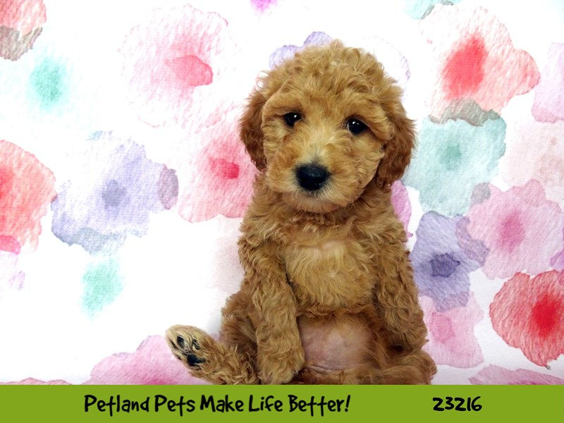 Mini Goldendoodle-DOG-Female-Red-2701878-Petland Aurora