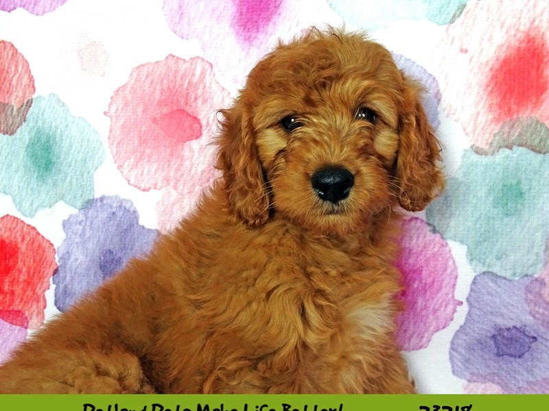 F1 Mini Golden Doodle-DOG-Male-Apricot-2701977-Petland Naperville