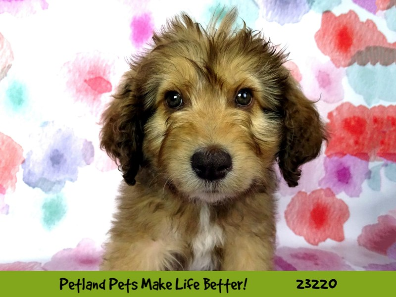 Poodle/Australian Shepherd-DOG-Female-Chocolate / Tan-2702114-Petland Naperville