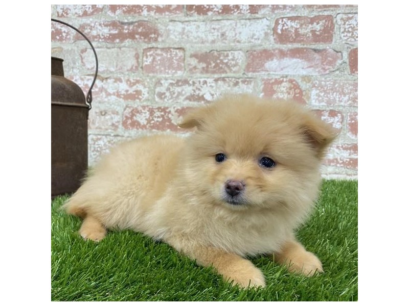 Pomeranian-DOG-Female-Orange-2703588-Petland Naperville