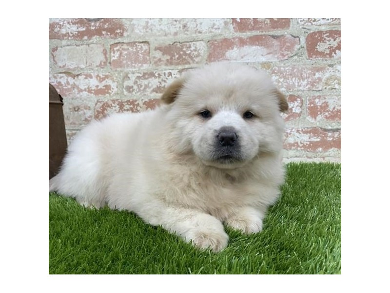 Chow Chow-DOG-Female-Cream-2703589-Petland Naperville