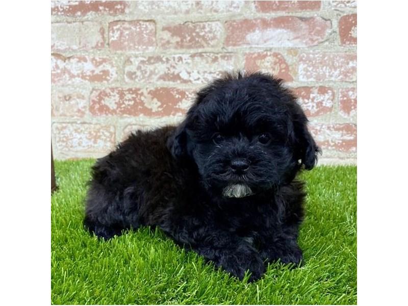 ShizaPoo-DOG-Male-Black-2703593-Petland Naperville
