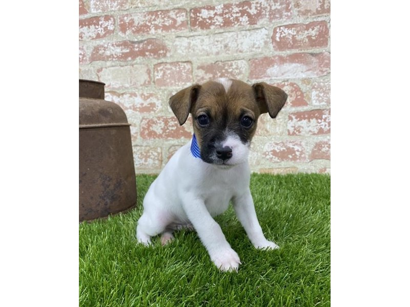 Jack Russell Terrier-Male-White-2703595-Petland Naperville