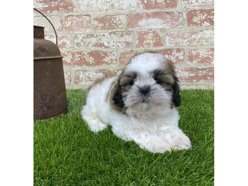 Shih Tzu-DOG-Male-Gold / White-2703602-Petland Aurora