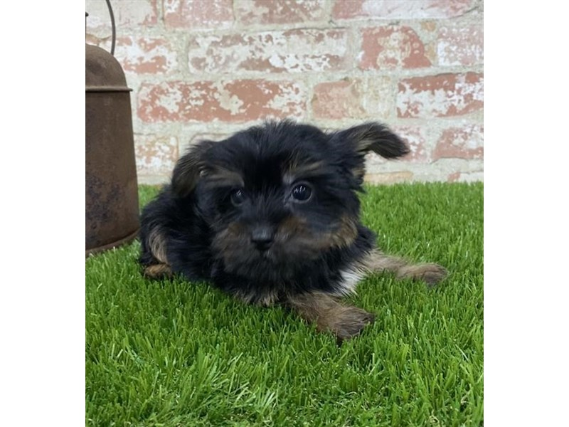 Yorkshire Terrier-DOG-Male-Black / Tan-2703603-Petland Naperville