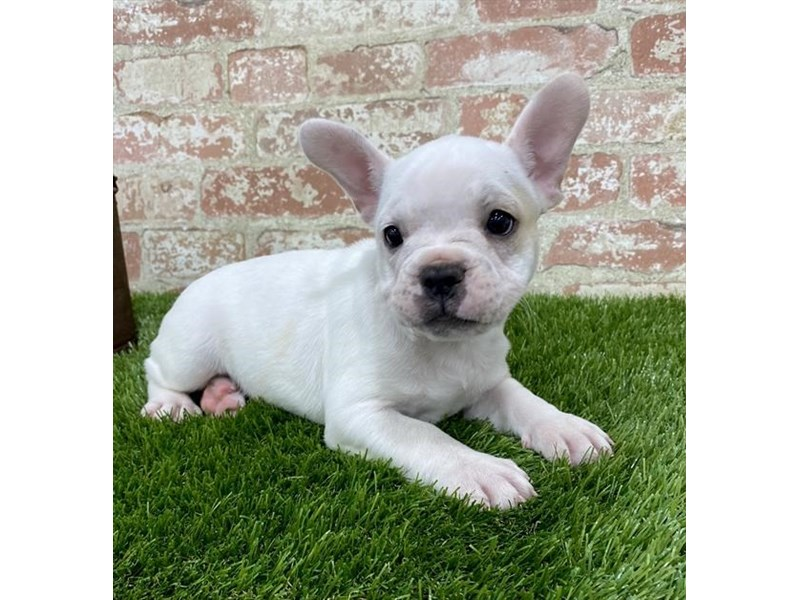 French Bulldog-DOG-Female-White-2703636-Petland Naperville