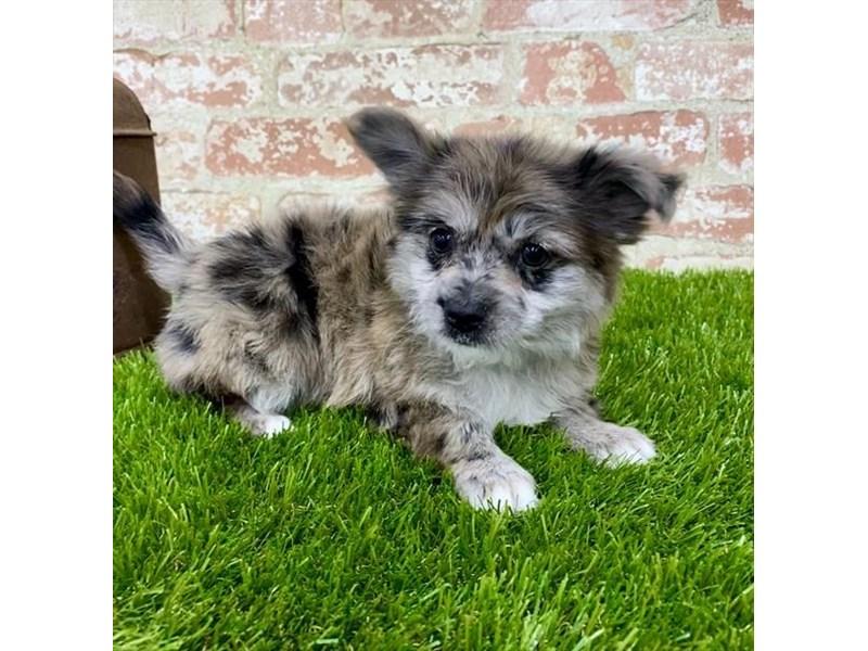 Pomeranian/Yorkshire Terrier-DOG-Female-Merle-2703642-Petland Naperville