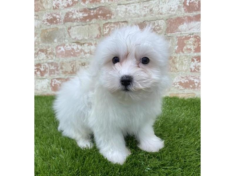 Coton De Tulear-DOG-Male-White-2703649-Petland Aurora