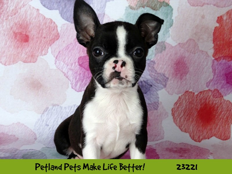 Boston Terrier-DOG-Male-Black and White-2703578-Petland Naperville