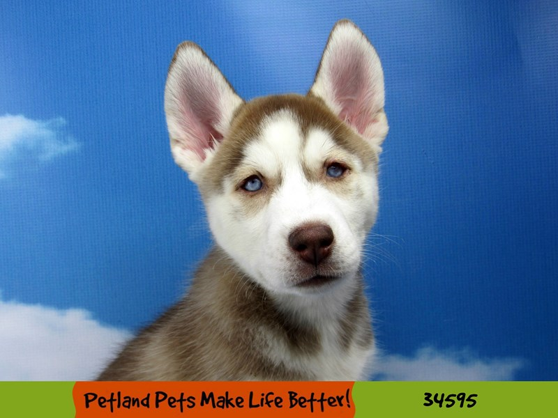 Siberian Husky-Female-Red / White-2704127-Petland Naperville