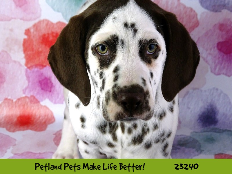 Dalmatian-Male-Liver and white-2708463-Petland Naperville