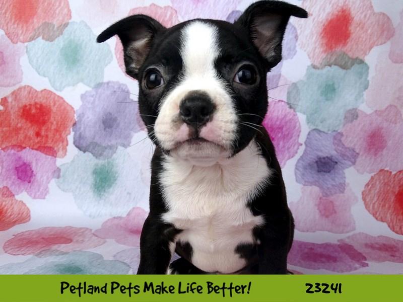 Boston Terrier-Male-Black and White-2708487-Petland Naperville