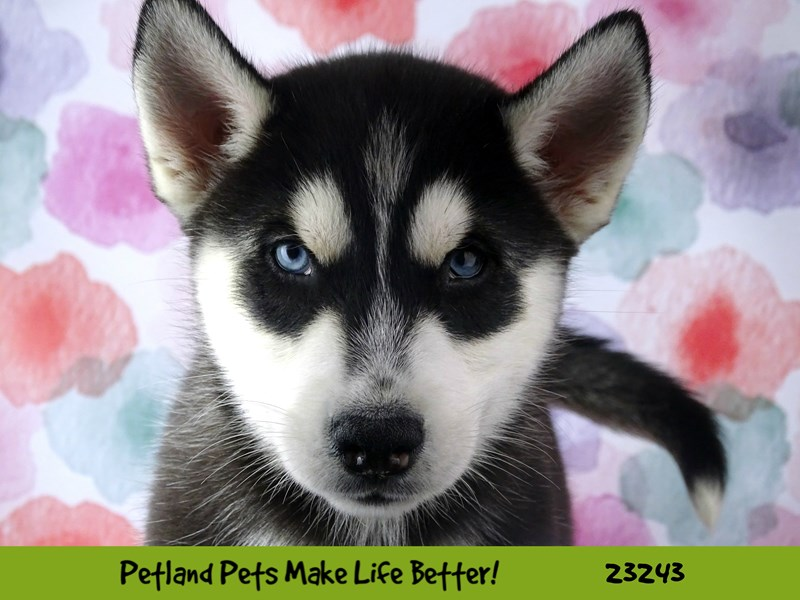 Siberian Husky-Male-Black and White-2708665-Petland Naperville