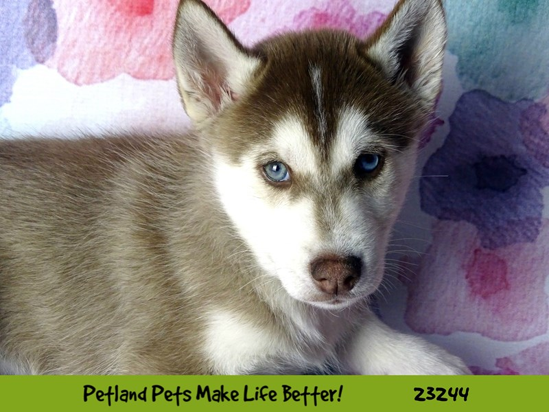 Siberian Husky-Male-Red and White-2708879-Petland Naperville