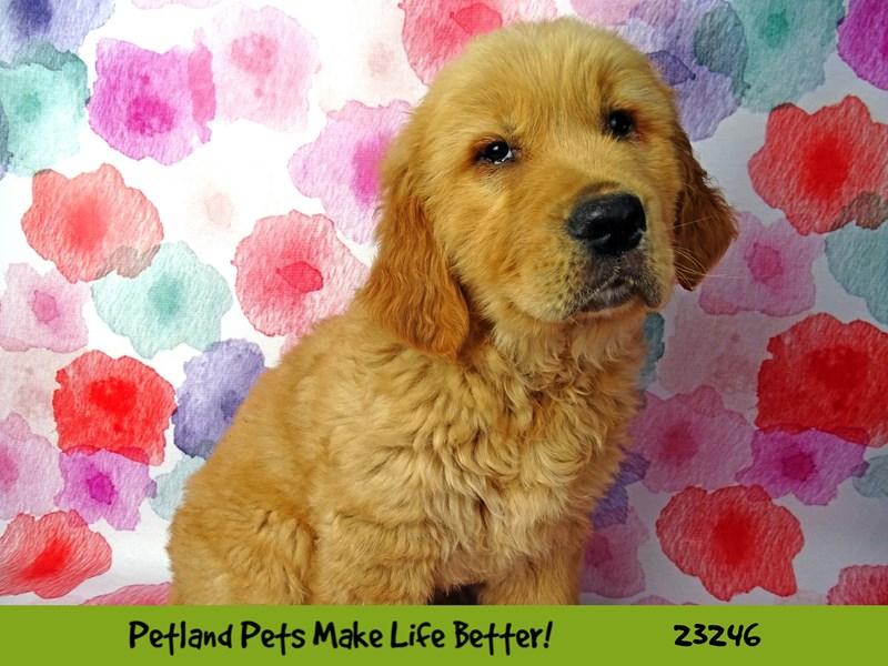 Golden Retriever-DOG-Male-Golden-2708958-Petland Naperville