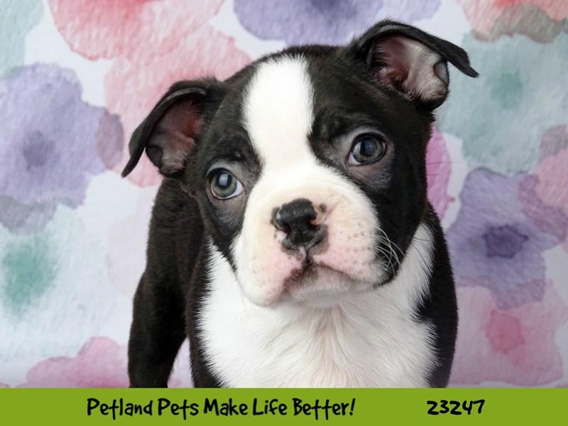 Boston Terrier-DOG-Male-Black / White-2708952-Petland Naperville