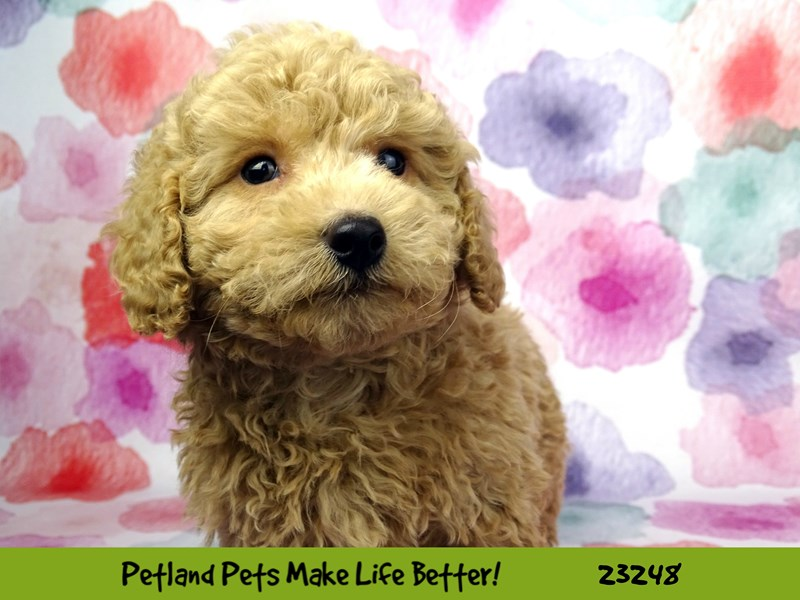 Poodle-DOG-Male-Cream-2708955-Petland Naperville