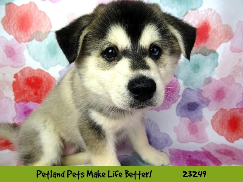 Pomsky-DOG-Male-Gray / White-2708949-Petland Aurora