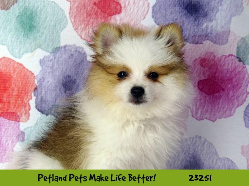Pomeranian-Female-Orange / White-2709092-Petland Naperville