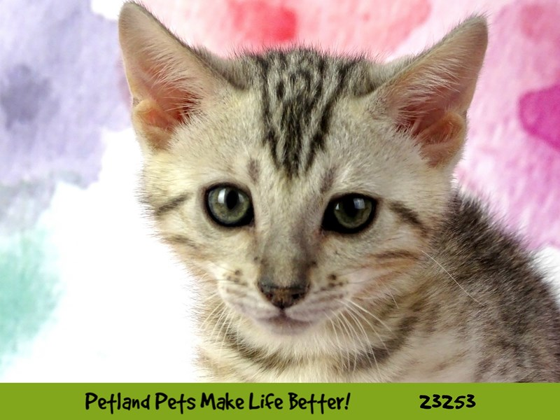 Bengal-CAT-Male-Seal Sepia-2709089-Petland Aurora