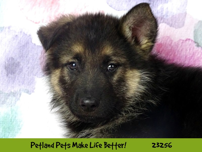German Shepherd Dog-Male-Black / Tan-2709199-Petland Naperville