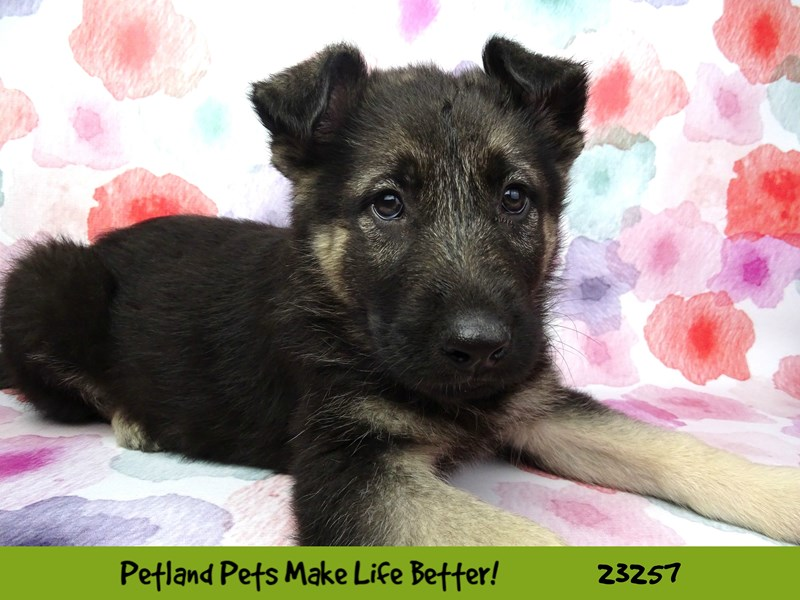 German Shepherd Dog-Male-Black / Tan-2709166-Petland Naperville