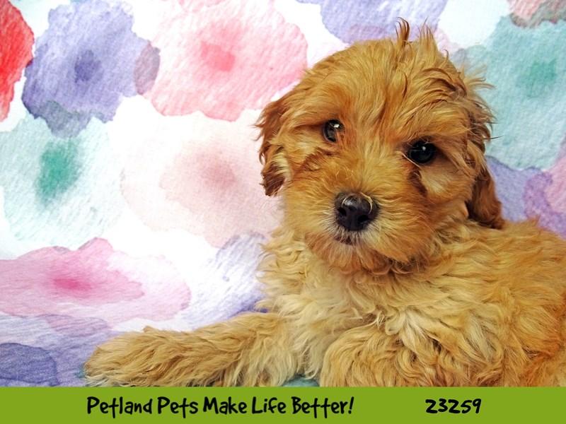 Miniature Poodle/Shih Tzu-DOG-Male-Red / Apricot-2709241-Petland Naperville