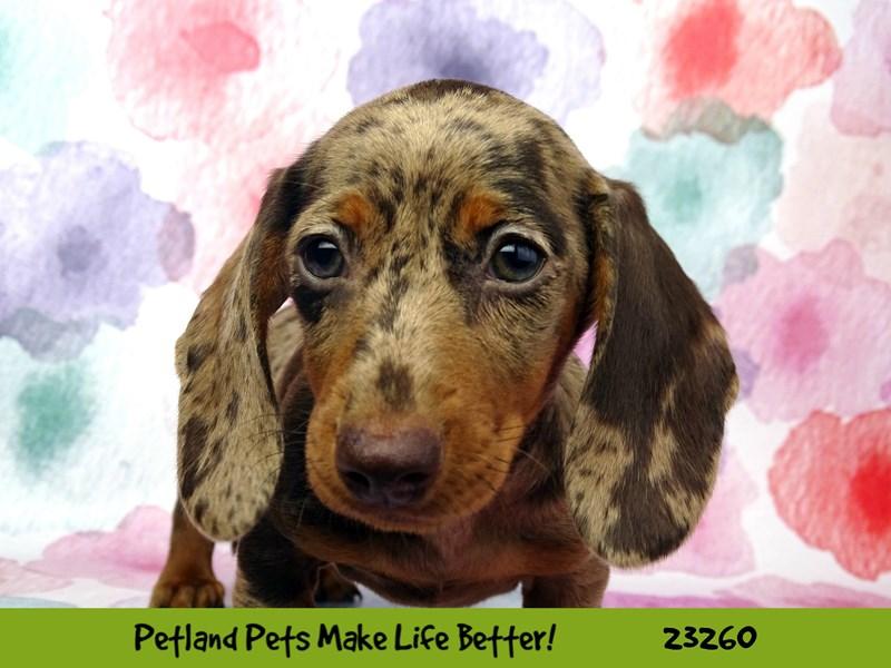 Dachshund-DOG-Female-Chocolate / Tan-2709128-Petland Naperville