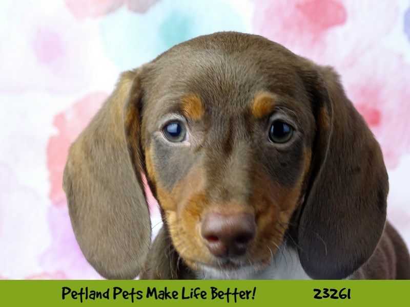 Dachshund-Male-Brown / Tan-2709130-Petland Naperville