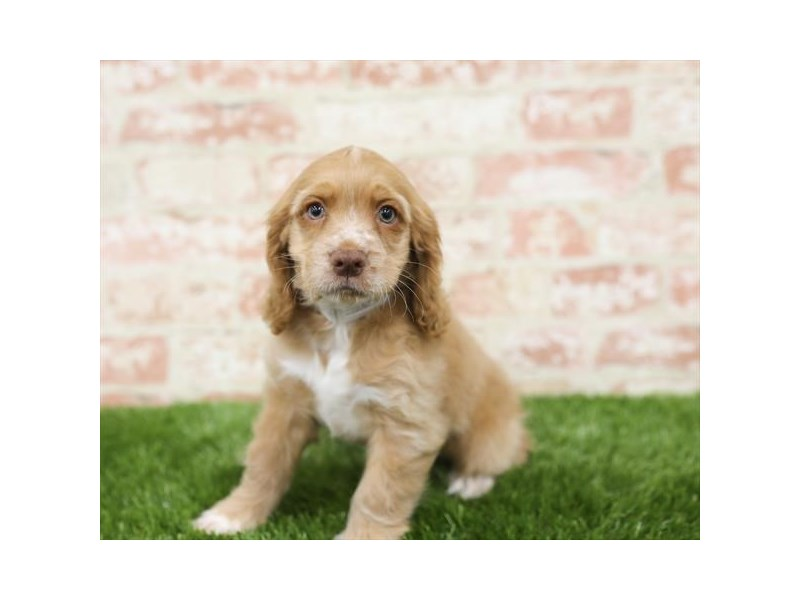 Cocker Spaniel-Male-Red-2710319-Petland Naperville